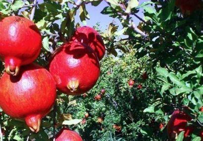 گزارشی جالب از باغات انار استان گلستان+فیلم