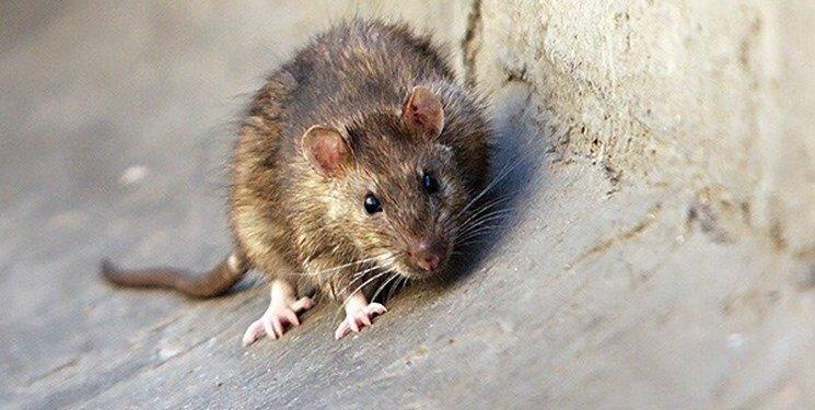 زندگی مسالمتآمیز موشها در خیابانهای شهر گنبدکاووس