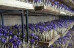 کشت زعفران گلخانهای شهروند گنبدی/ تولید عسل طبیعی در محیط شهری گنبد