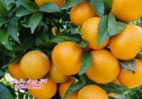 برداشت حدود ۱۰ هزار تن نارنگی در استان گلستان