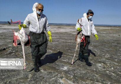قصه تکراری مرگ پرندگان در خلیج گرگان