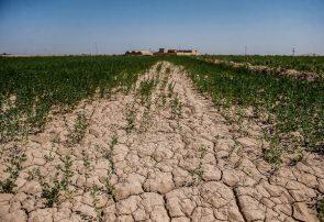 خشک شدن محصول در برخی اراضی کشاورزی گلستان